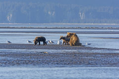 Mother Bear and Cubs on a Mudflat Royalty Free Stock Photos