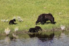 Mother Bear and Cubs Stock Photo
