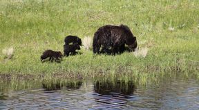 Mother Bear and Cubs Stock Photography