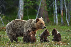 Mother bear and cubs Royalty Free Stock Photos