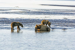 Mother Bear and Cubs on a Tidal Flat Royalty Free Stock Image