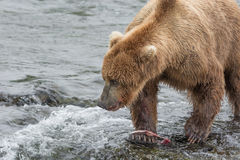 Mother Bear eats the blubber of a salmon she has just caught at Royalty Free Stock Photo