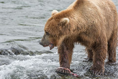 Mother Bear eats the blubber of a salmon she has just caught at Royalty Free Stock Image