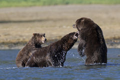 Mother Bear protecting cub bear from boar Stock Images