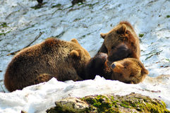 Mother bear suckling cubs Royalty Free Stock Photo