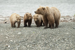 Mother bear with three cubs Royalty Free Stock Photos