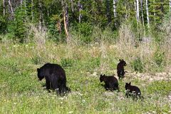 A mother bear and three cubs forage on the edge of a forest royalty free stock photos