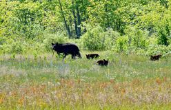 Mother bear and three cubs forage on the edge of a forest in spring stock image