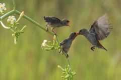 Mother bird feeding chicks. A bird feeding its chicks, This type of bird is commonly found near bushes and soccer fields on the outskirts of urban areas royalty free stock photos