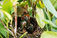 Mother bird feeding her young Royalty Free Stock Photography