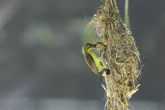 Mother bird feeding its baby Royalty Free Stock Photography