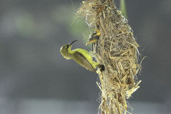 Mother bird feeding its baby Royalty Free Stock Images