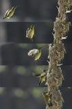 Mother bird feeding its baby Stock Photos