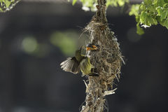 Mother bird feeding its baby Royalty Free Stock Photo