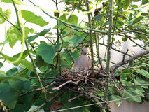 Mother bird and her chicks in the nest Stock Photography