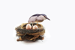 A mother bird is protecting its eggs Royalty Free Stock Photography