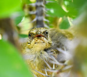 Mother bird is watching the photographer. Royalty Free Stock Photos