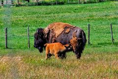 Mother Bison Nursing Baby Calf in Utah Royalty Free Stock Photos
