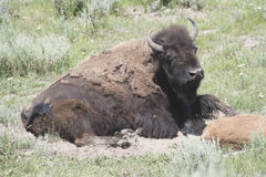 Mother Bison Royalty Free Stock Photography