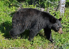 Mother Black Bear Royalty Free Stock Photography