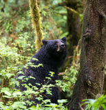 Mother black bear Stock Photography