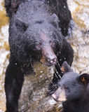 Mother black bear and cub (coy) royalty free stock images