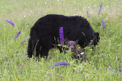 Mother Black Bear and Cub in Flowers Royalty Free Stock Photography