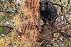 A Mother Black Bear Sow and Her COY Cub in a Pine Tree royalty free stock image