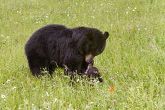 Black Bear Momma Playing with Her Cub Royalty Free Stock Images