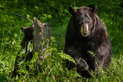 Mother Black Bear (Ursus americanus) and Cub Forage in Stump Royalty Free Stock Photos