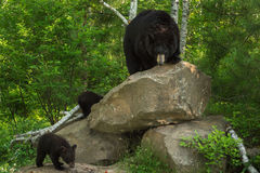 Mother Black Bear (Ursus americanus) and Cubs at Rock Den Royalty Free Stock Photo