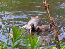 Mother Black Coot with chick swimming in the pond on during Spring time stock photography