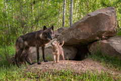 Mother Black Wolf (Canis lupus) Being Looked at by Pup Stock Photo