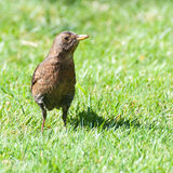Mother Blackbird. A female blackbird stands in the middle of a grassy area royalty free stock photo