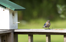 Mother Bluebird brings insect to her birdhouse. Stock Photos