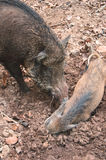 Mother boar awake her baby. Royalty Free Stock Photo