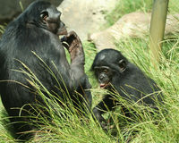 A Mother Bonobo and Her Baby. A Mother Bonobo Chimpanzee and Her Baby in the Sunshine Stock Photography
