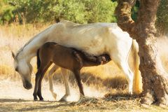 Mother breastfeeding her baby horse. A loving and caring moment. Stock Image