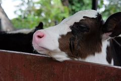 Mother breed cow standing in animal stalls get ready for eat lun Stock Images