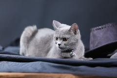 British Shorthair cat portrait,. Mother British Shorthair cat portrait against black background stock photography
