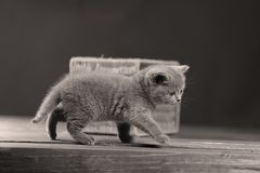 British Shorthair kitten portrait,. Mother British Shorthair cat portrait black and white shot stock photos