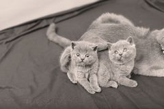 British Shorthair kittens portrait, isolated. Mother British Shorthair kittens looking up portrait black background royalty free stock photo