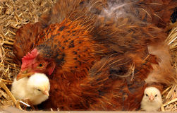 Mother broody hen and chickens. Mother broody hen and newly hatched chickens Stock Image