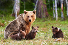 Mother brown bear and her cubs. Brown mother bear protecting her cubs in a Finnish forest Stock Photography