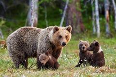 Mother brown bear and her cubs Stock Photos