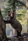 Mother bear standing tall Royalty Free Stock Image