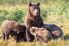 Mother brown bear and triplets that are drinking milk from mother. Three brown bear cubs drinking milk from mother Stock Photo