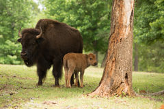 Mother buffalo with calf Stock Photos