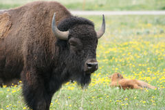 Mother buffalo with lounging baby. Grand tetons,wyoming Royalty Free Stock Photography