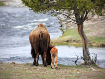 Mother and Calf. Rear view of a mother bison and her calf by her side royalty free stock images